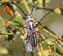 Mating Long-horned Beetles - Plionoma suturalis - male - female