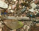 Blue-Fronted Dancer? - Argia apicalis - male - female