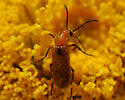 Red Beetle on Desert Marigold - Nemognatha nigripennis