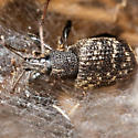 Spider and Weevil - Otiorhynchus sulcatus