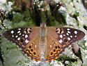 Hackberry Emperor - Asterocampa celtis - female