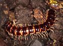 Centipede - Oxidus gracilis