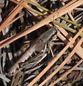 Melanoplus femur-nigrum - Melanoplus femurnigrum - female