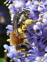 Andrena mining bee - Andrena - female