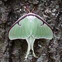 Luna Moth-Actias luna - Actias luna