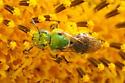 Agapostemon sp? - Agapostemon virescens - female
