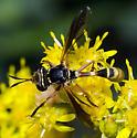 Physoconops - male