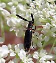 Checkered Beetle - Monophylla terminata - male