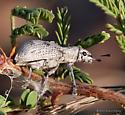 Beetle - Ericydeus lautus