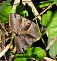 Forage Looper Moth - Caenurgina erechtea