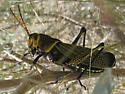 Grasshopper ID? - Taeniopoda eques - male
