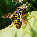 Fly - Spilomyia interrupta