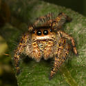 Which Jumper? - Phidippus princeps - male