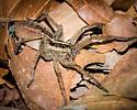 2513 Striped Ground Spider - Rabidosa santrita