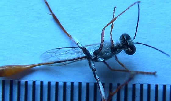 Sexing wasps in the genus Ammophila (spray-painted legs) - Ammophila - male