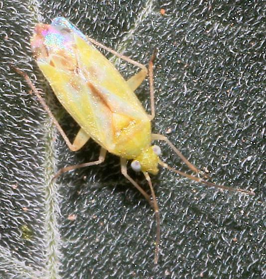 Plant Bug - Reuteroscopus