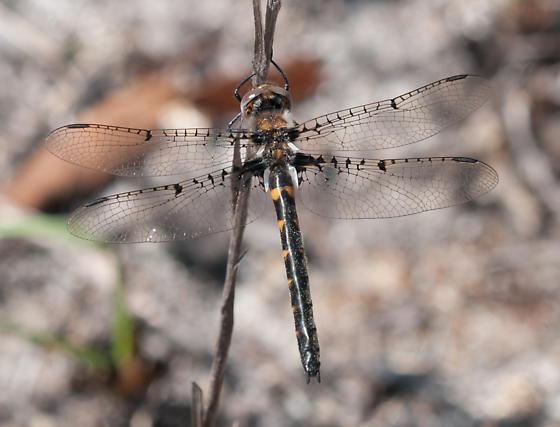 Helocordulia selysii - female