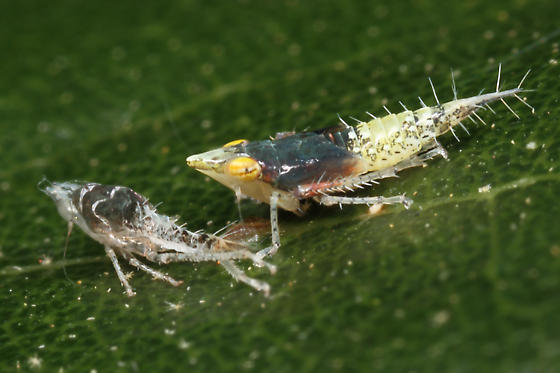 Cicadellid ID Request - Scaphytopius nr-elegans
