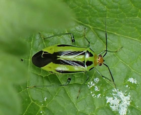 Poecilocapsus lineatus   Four-lined Plant Bug - Poecilocapsus lineatus