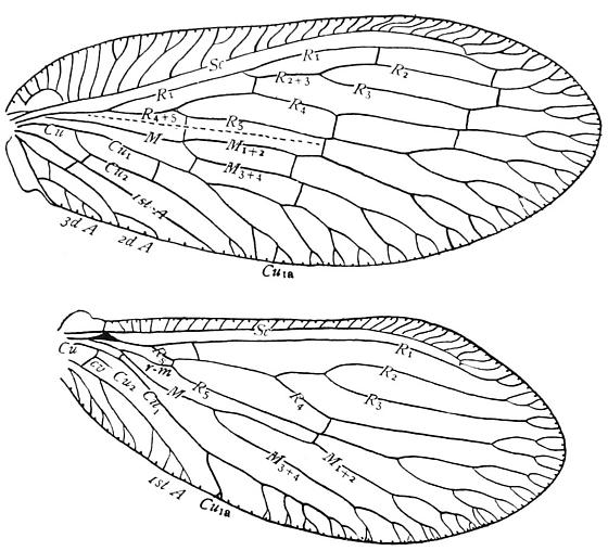 Wing venation of a Brown Lacewing - Sympherobius amiculus