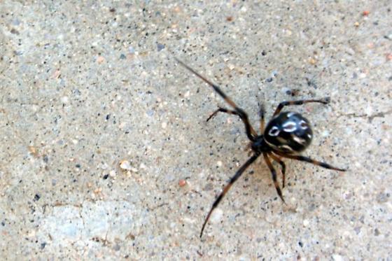 unknown spider - Latrodectus mactans