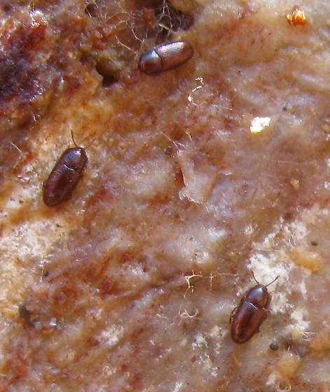 Minute bark beetles - Philothermus
