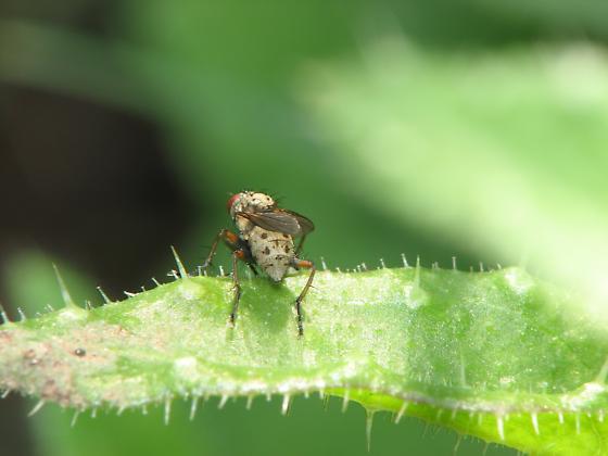? Myzid Fly, Heliomyzidae ? - Coenosia tigrina