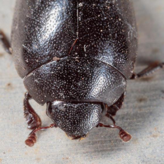 Black Beetle - Nosodendron unicolor