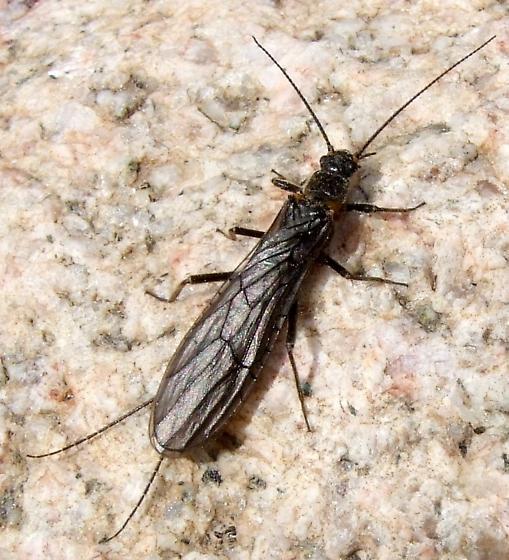 Plecoptera - Paracapnia