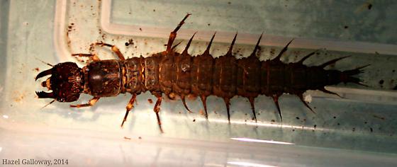 Dobsonfly Larvae--species? - Corydalus cornutus