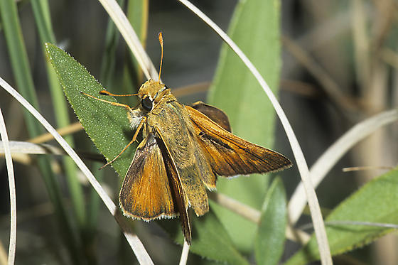 Leonard's (Pawnee) Skipper - Hesperia leonardus - male
