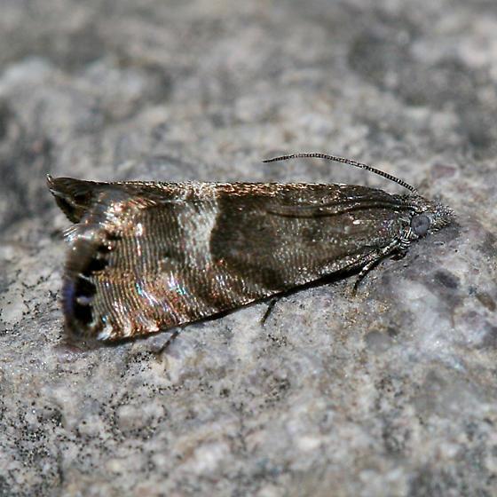 Speckled Sereda Moth - Sereda tautana