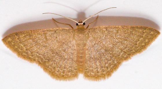Common Tan Wave Pleuroprucha insulsaria - Female - Pleuroprucha insulsaria - female