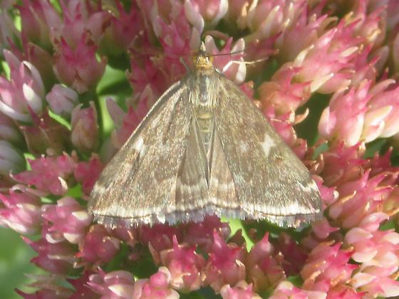 Lepidoptera - Loxostege