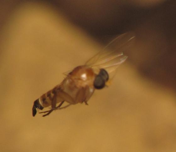 Apocephalus coquilletti? - Apocephalus coquilletti - female