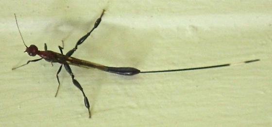 unknown insect with very long ovipositor - female