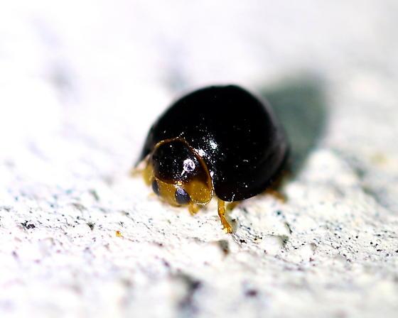 Black Chilocorus (Chilocorus nigrita) - Chilocorus nigrita
