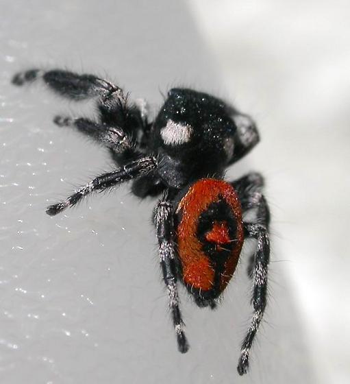 Red beauty boy - Phidippus pulcherrimus - male