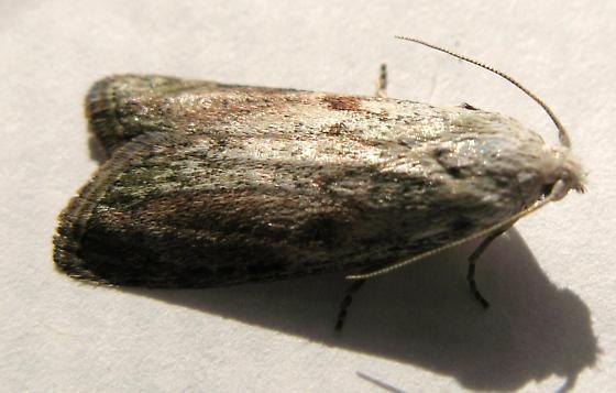 Bee moth? - Aphomia sociella - male