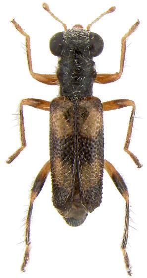 Phyllobaenus sp. - Phyllobaenus pallipennis