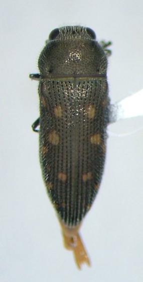 Acmaeodera tubulus - male