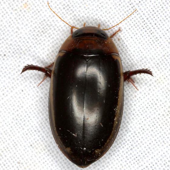 Prodaticus bimarginatus (Say) - Prodaticus bimarginatus - female
