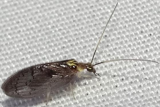 Sympherobius - Sympherobius occidentalis