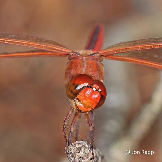 Needham's Skimmer Dragonfly - Libellula needhami - male