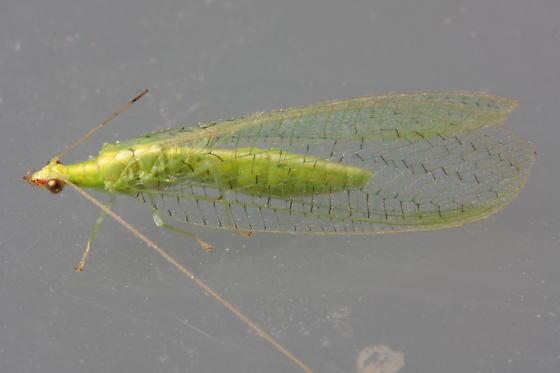 Green Lacewing - Chrysoperla - female