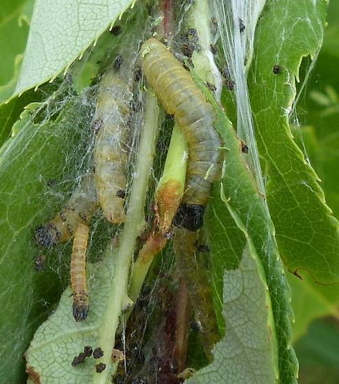 Torticid moth larvae? - Archips cerasivorana