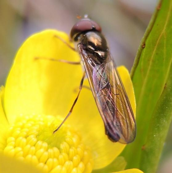 Syrphid/Buttercup - Melanostoma mellinum