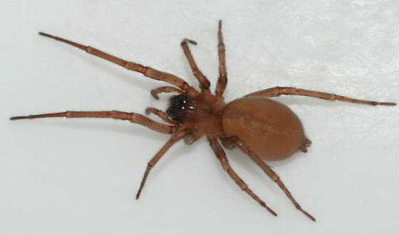 Long-legged Sac Spider - Cheiracanthium - female