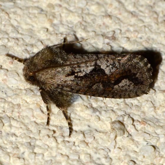 119 Acrolophus griseus, A. davisellus or other? - Acrolophus minor