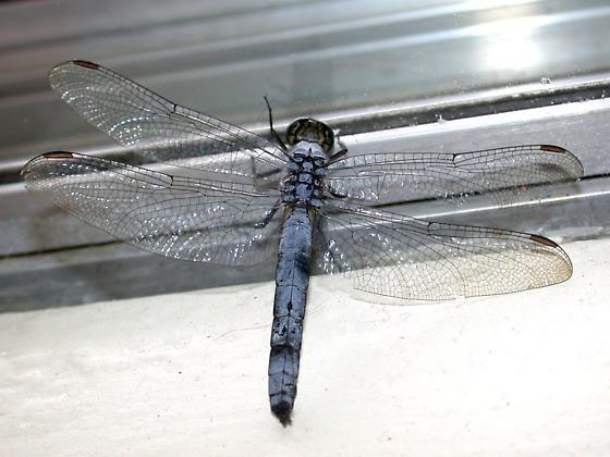 Corvallis skimmer - Erythemis collocata - male